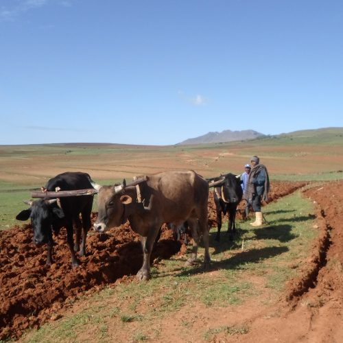 Lesotho expects better harvest this year