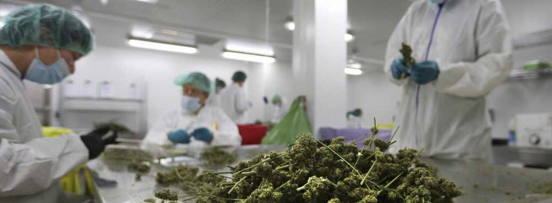 US firm to set up dagga  testing centre