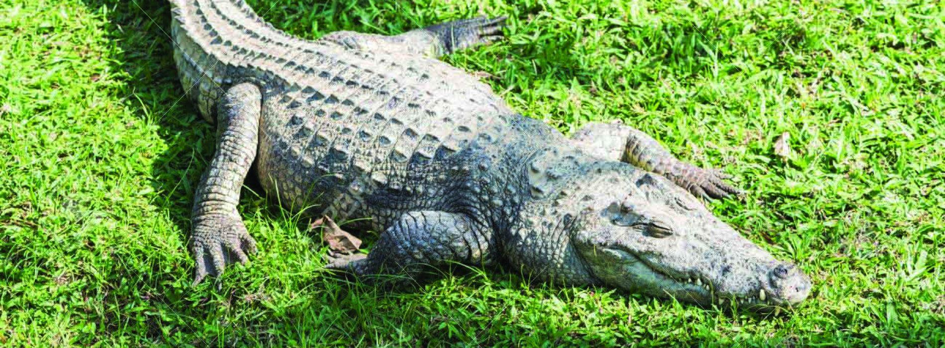 An accountant and a crocodile – a short story
