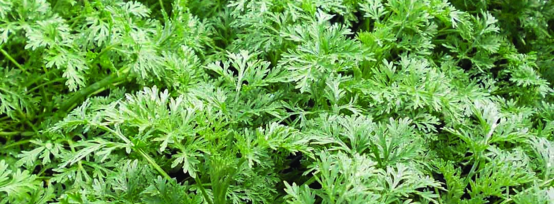 NUL academics push herbal remedies
