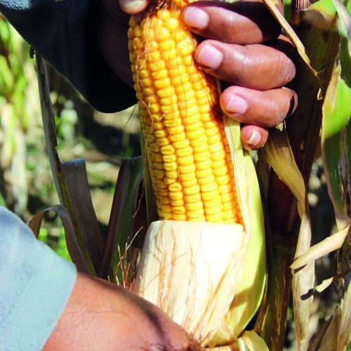 Farmers' roll back hunger