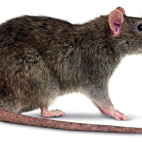 The chief whip  of rats