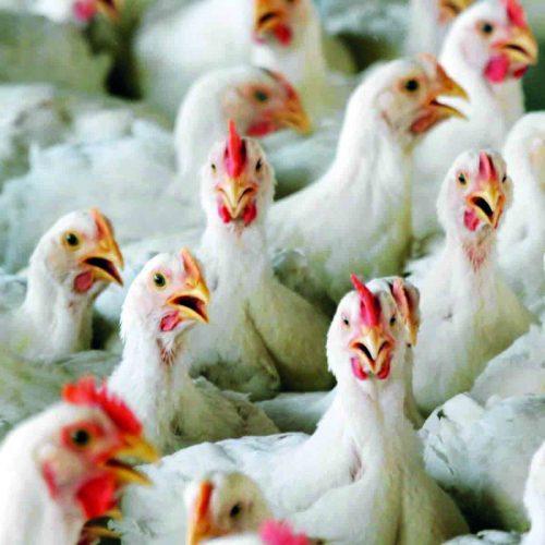 Avian flu hits Lesotho